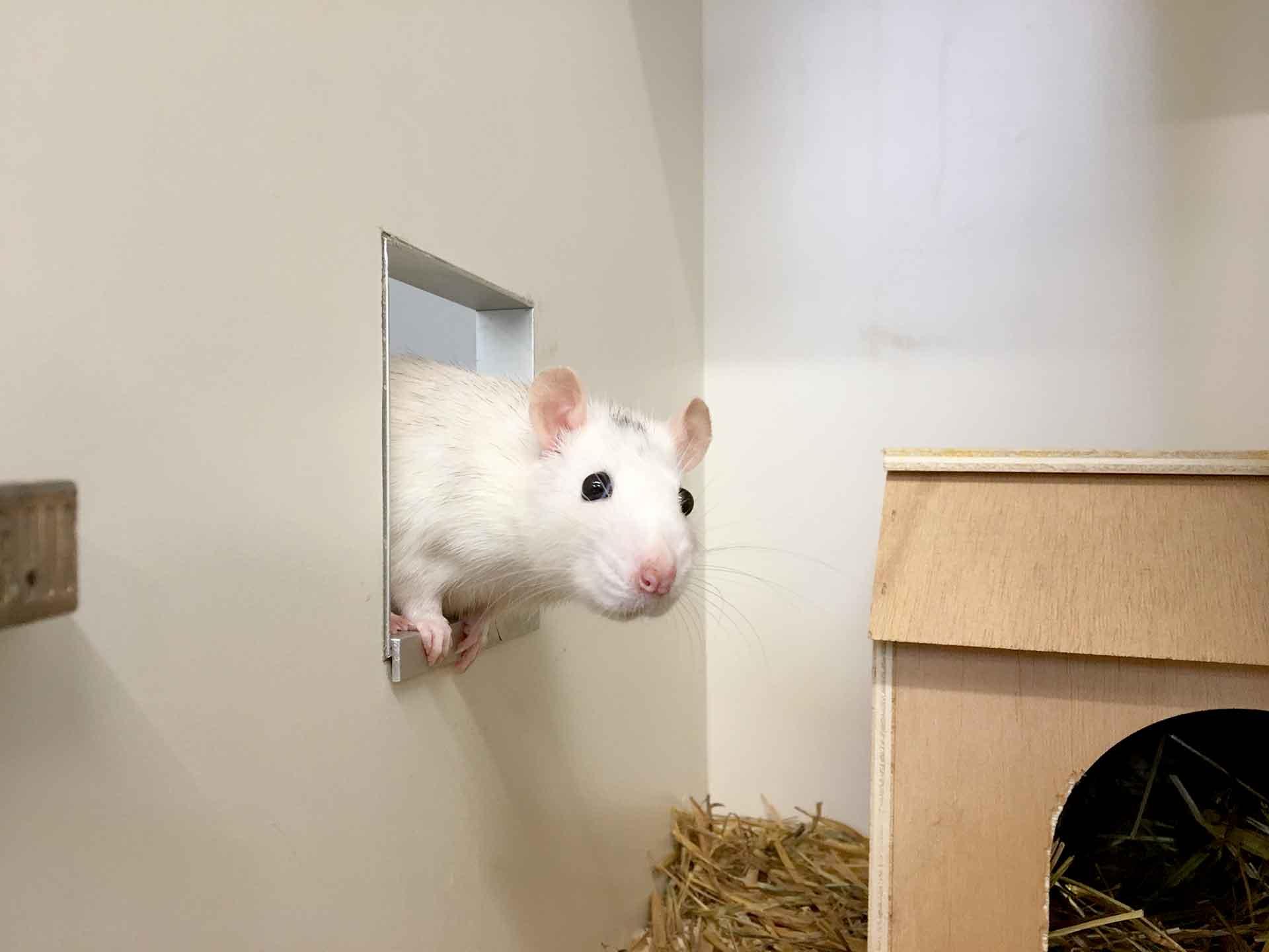 Ratten bekommen im Vorarlberger Tierschutzheim ein schönes Zuhause.